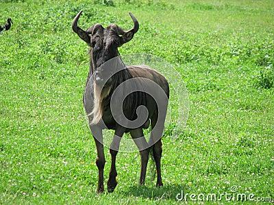 Wildebeest bleu (Tanzanie)