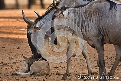 Wildebeest with calf