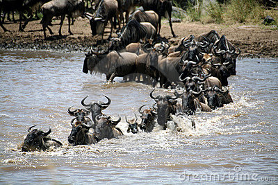 Wildebeest Crossing (Kenya)