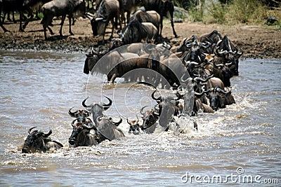 Wildebeest Crossing (Kenya)