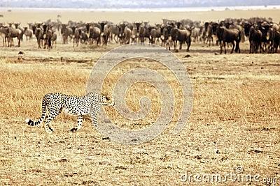 Wildebeest de acecho del guepardo de Mara del Masai