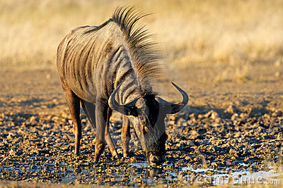 Wildebeest drinking, Kalahari, South Africa