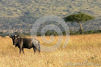 Wildebeest em kenya