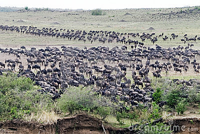 Wildebeest gathering to Cross