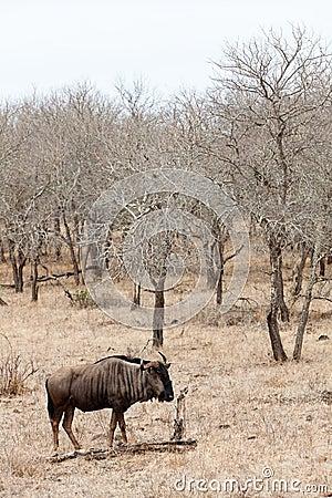 Wildebeest in a grey landscape