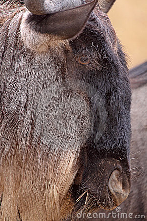 Wildebeest Head