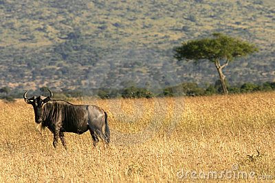 Wildebeest in kenya