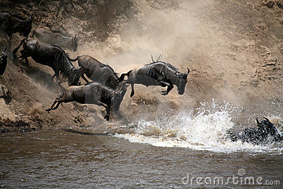 Wildebeest Leap of Faith (Kenya)