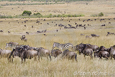 Wildebeest migration in Masai Mara.