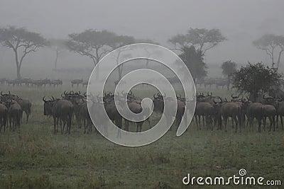 Wildebeest nella pioggia