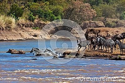 Wildebeest und Zebras, die den Fluss Mara kreuzen