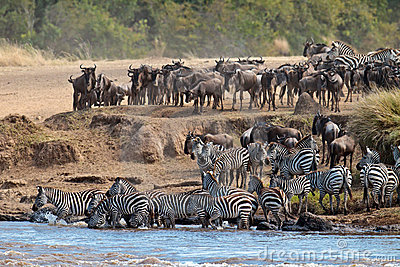 Wildebeest and zebras crossing the river Mara