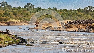 Wildebeest and zebras crossing the river Mara