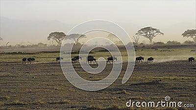 wildebeests arkivfilmer