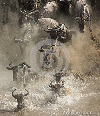 Free Wildebeests Are Crossing Mara River. Great Migration. Kenya. Tanzania. Masai Mara National Park. Stock Photo - 79862100