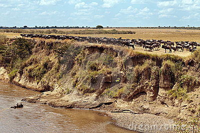 Wildebeests are collected in a large herd