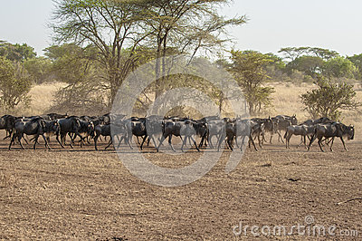 Wildebeests in  Serengeti