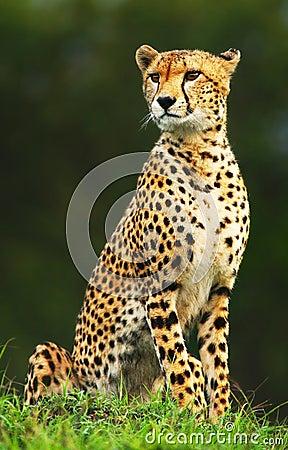 Wilder afrikanischer Gepard