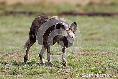 Wilder Hundeanpirschen