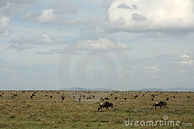 Wilderbeast - Serengeti Safari, Tanzania, Africa