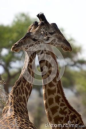 Wildes tier in afrika serengeti nationalpark lizenzfreies stockfoto