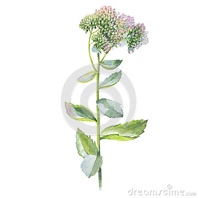 Free Wildflower Flower Livelong In A Watercolor Style Isolated. Royalty Free Stock Photo - 77208285