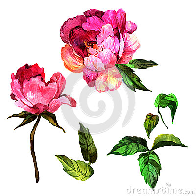 Free Wildflower Peony Flower In A Watercolor Style Isolated. Stock Photo - 95600130