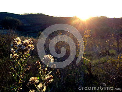 Wildflower Seedheads  at sunset