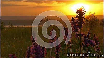 Wildflowers στο backlight του ήλιου αύξησης απόθεμα βίντεο