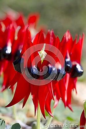Wildflowers Australia