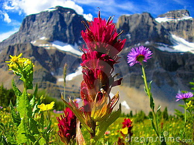 Wildflowers Of Banff Nat Park Stock Image - Image: 2327261