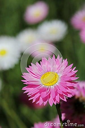 Wildflowers - Everlastings