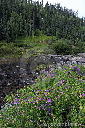 Free Wildflowers In Colorado Rocky Mountains Stock Image - 10543041