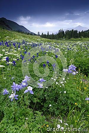 Free Wildflowers In San Juan Mountains In Colorado Stock Photos - 10543733