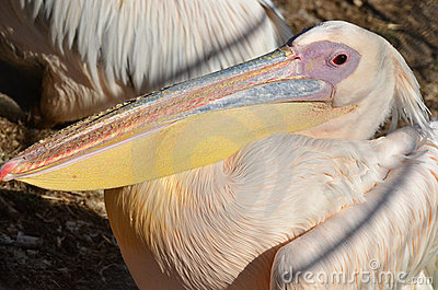 Wildlfe Photos - Pelican