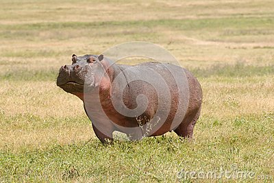 Wildlife in Africa, Hippo