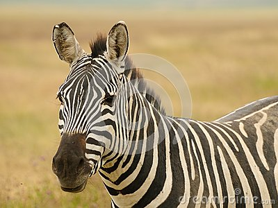 Wildlife in Africa, Zebra