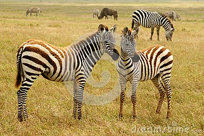Wildlife in Africa, Zebras