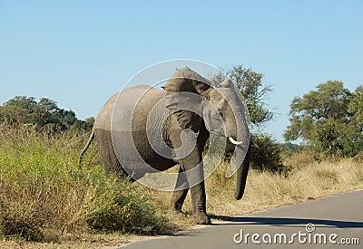 Wildlife: African Elephant