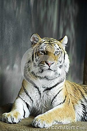 Wildlife Animal, Big Cat Tiger
