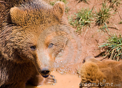 Wildlife bear