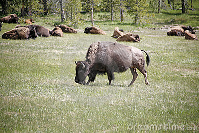 Wildlife buffalos