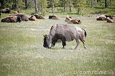 Wildlife buffalos