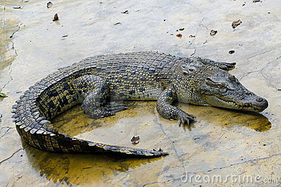 Wildlife crocodile