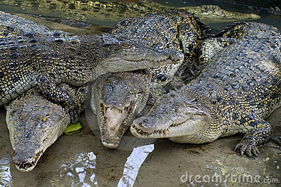Wildlife crocodiles