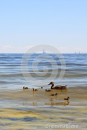 Wildlife Duck - Seaweed Stock Images - Image: 15706994