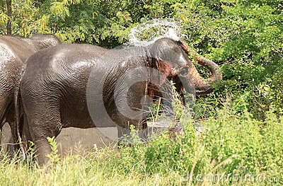 Wildlife of an elephant spraying water