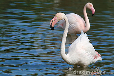 Wildlife flamingo in the water