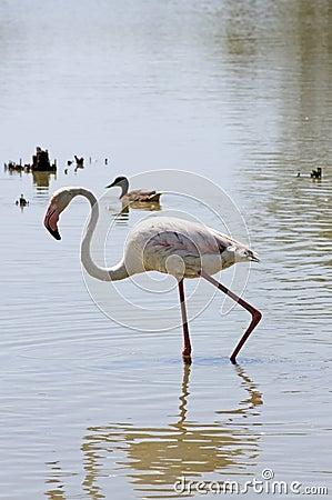 Wildlife: Flamingos in Camargue