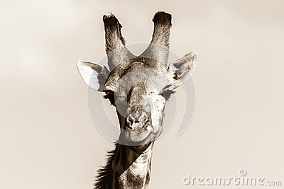 Wildlife Giraffe Animal Head Black White Vintage